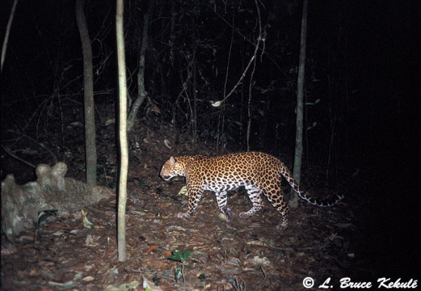 Leopard in KK NP