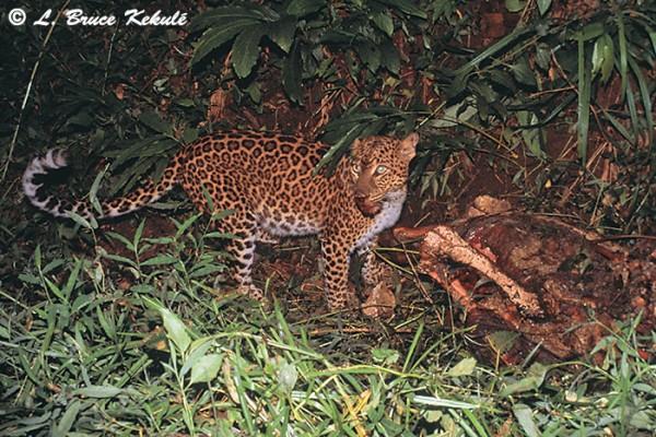 Leopard in HKK WS