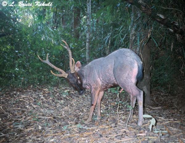 Sambar stag in Kaeng Krachan NP
