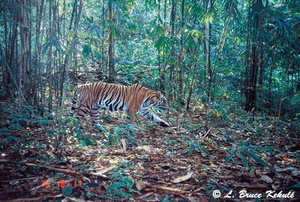 Tiger in Sai Yok NP