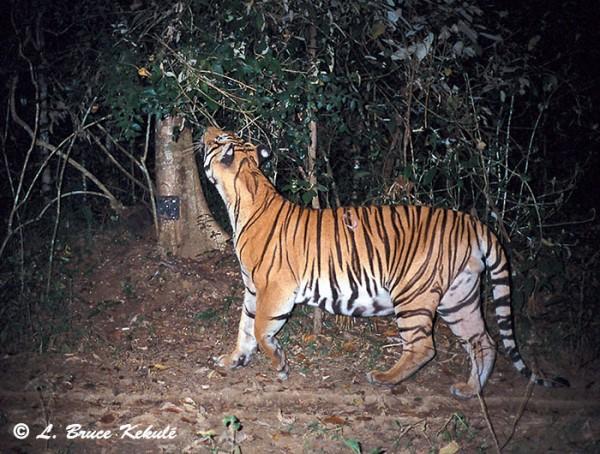 Tiger2 in Kaeng Krachan NP