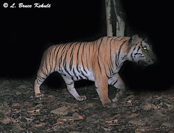 Tiger3 in Kaeng Krachan NP