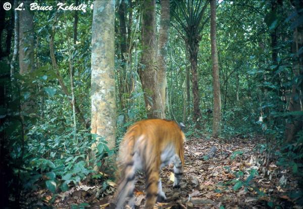 Tiger in Kaeng Krachan NP