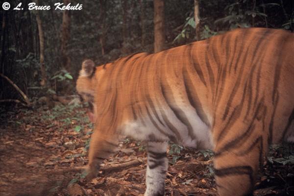 Tiger5 in Kaeng Krachan NP