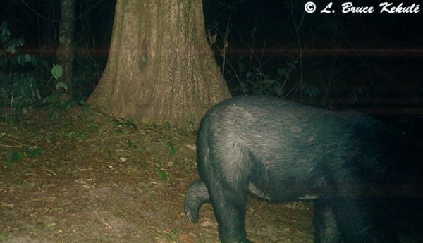 Black bear in Huai Kha Khaeng WS