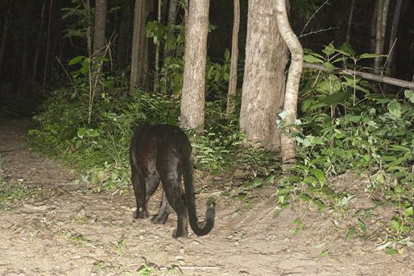 Black leopard in Husi Kha Khaeng WS