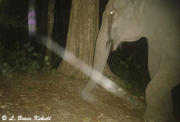 Elephant in Huai Kha Khaeng WS