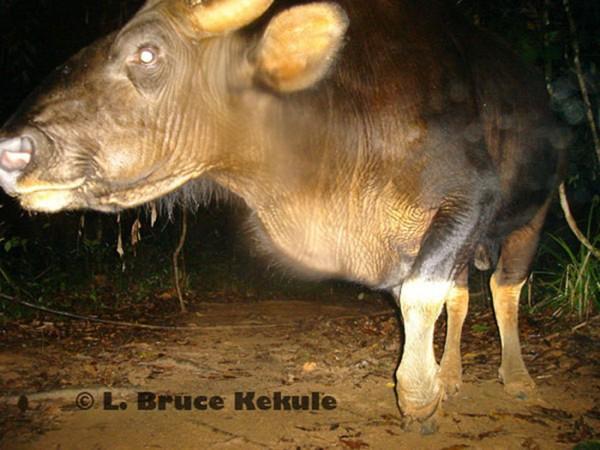 Gaur bull Khlong Saeng