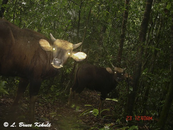 Gaur 1 in Khlong Saeng Wildlife Sanctuary