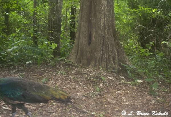 Green peafowl in Huai Kha Khaeng WS