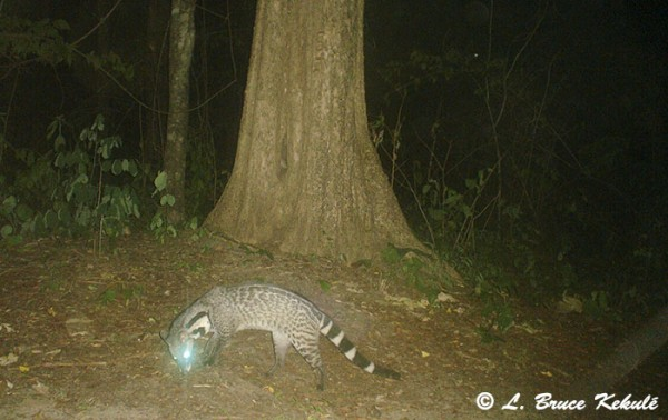 Large Indian civet in Huai Kha Khaeng WS
