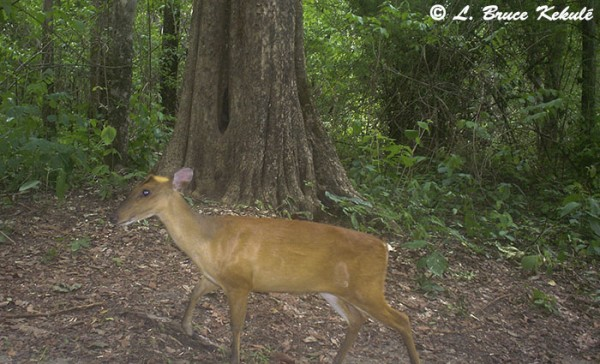 muntjac doe in Huai Kha Khaeng Wildlife Sanctuary