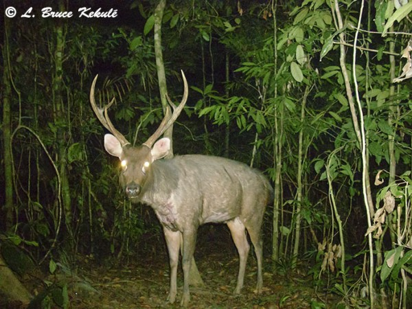 Sambar stag in Khlong Saeng Wildlife Sanctuary