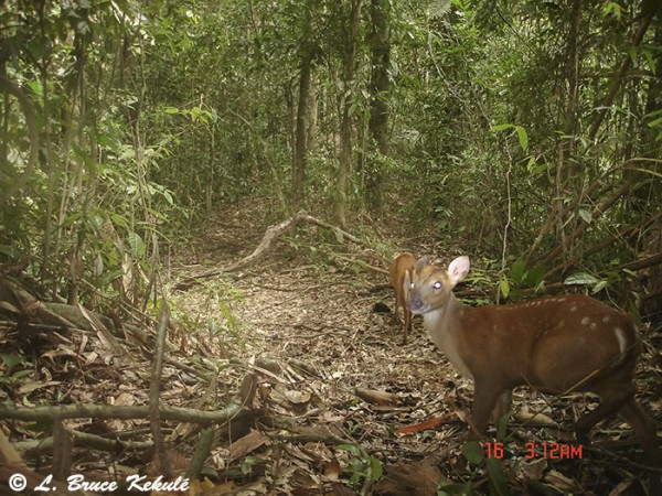 muntjac with spots in Khlong Saeng Wildlife Sanctuary