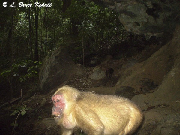 Stump-tailed Macaque in Khlong Saeng