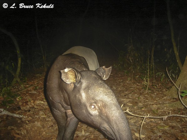 Tapir in Khlong Saeng Wildlife Sanctuary