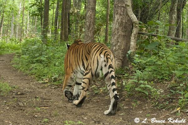 Tiger in Huai Kha Khaeng Wildlife Sanctuary