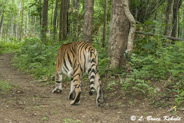 Tiger in Huai Kha Khaeng Wildlife Sanctuary