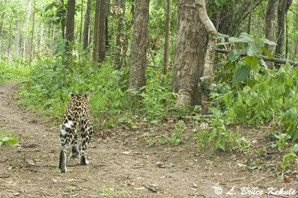 Asian leopard in Husi Kha Khaeng WS