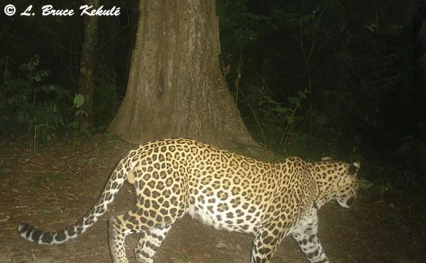 Yellow-phase leopard in Husi Kha Khaeng WS