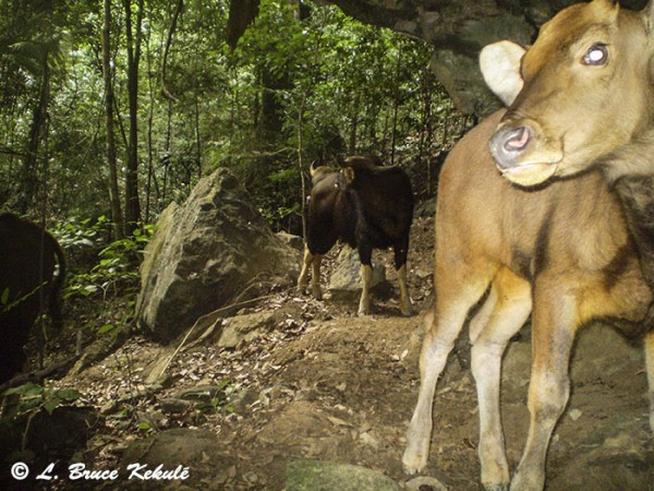 Gaur 2 in Khlong Saeng Wildlife Sanctuary