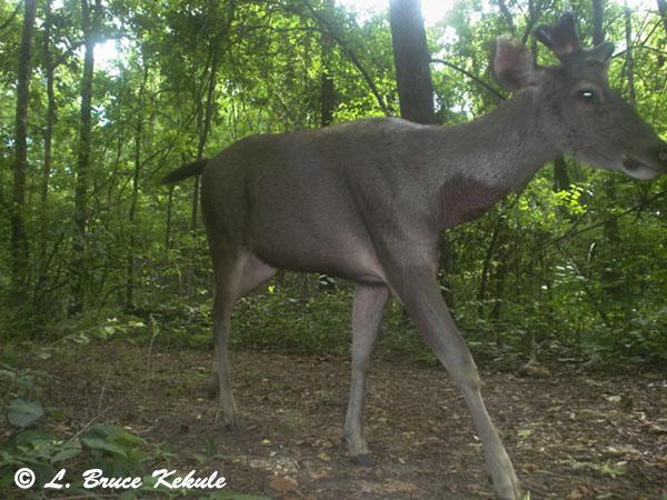 Sambar stag - P41