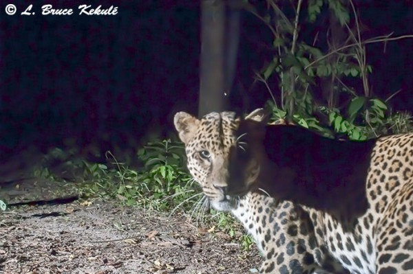 Asian male leopard at night