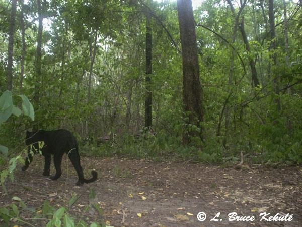 Black leopard - Sony P41
