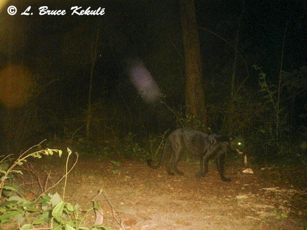 Black leopard2 - Sony P41
