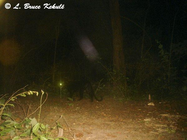 Black leopard3 - Sony P41