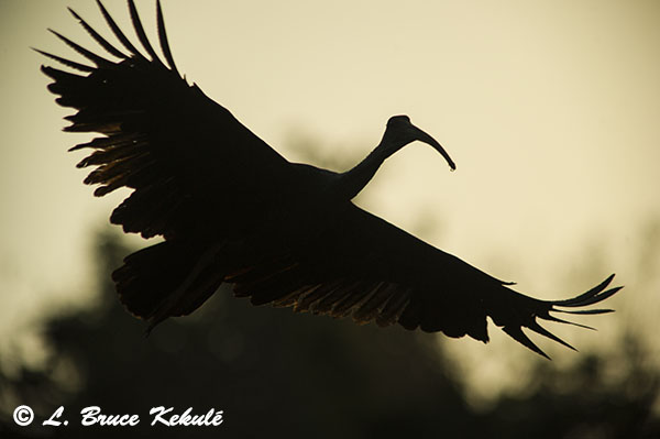 Giant Ibis in Cambodia