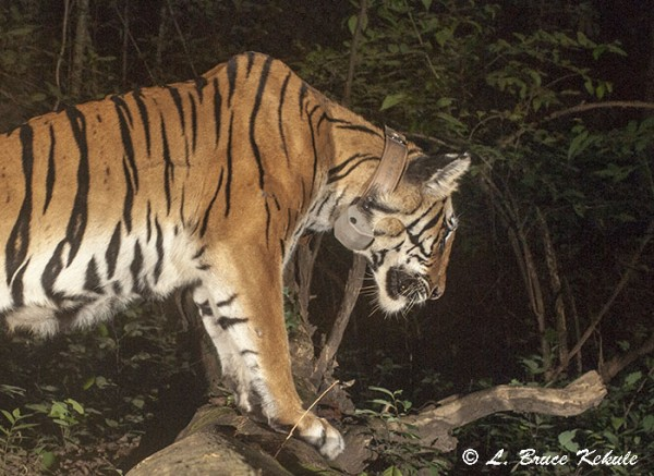 indochinese tiger female sporting a 'radio collar'