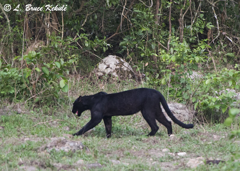 Black Leopard Wildlife Photography In Thailand And