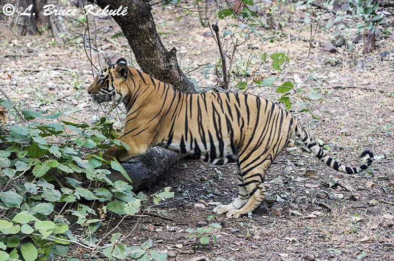 Tiger male - Ranthambore