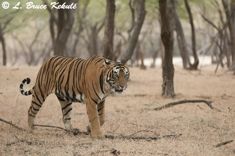 Last tiger in Ranthambhore