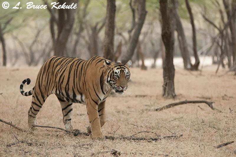 Last tiger in Ranthambhore