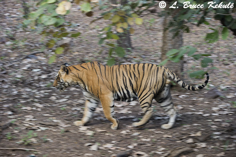 Tiger male walking 1 - Ranthambore