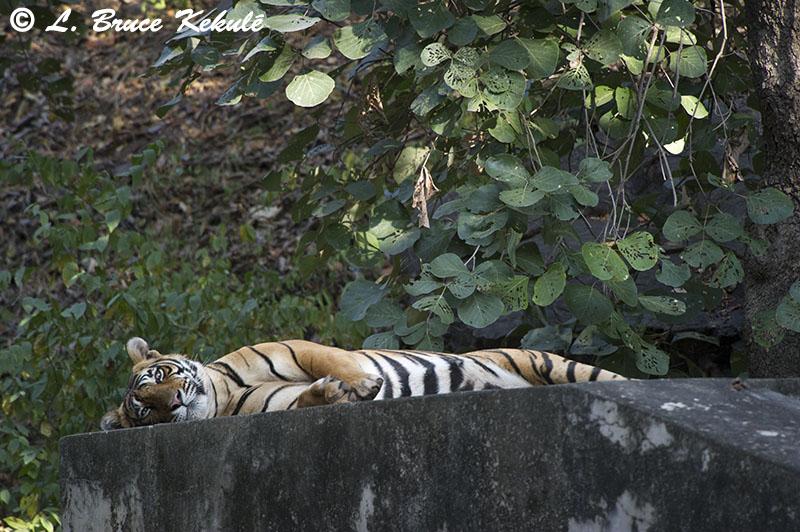 Tiger male - Sultan - Ranthambore