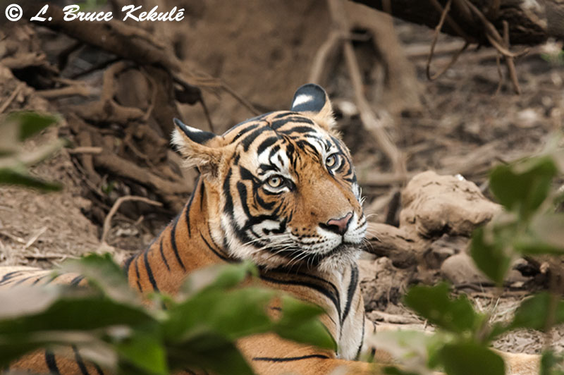 Tiger male - Sultan 4- Ranthambore