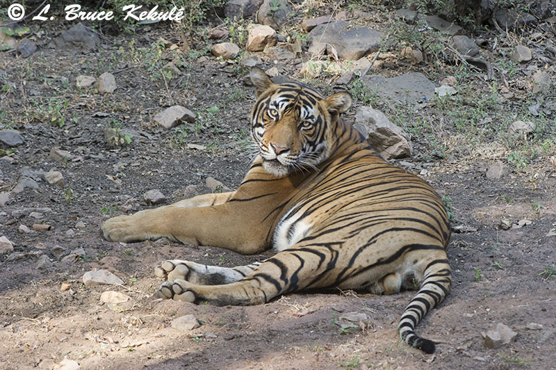 Tiger male - Sultan 5- Ranthambore