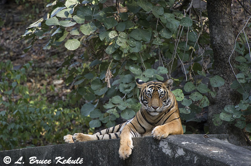 Tiger male - Sultan - Ranthambore