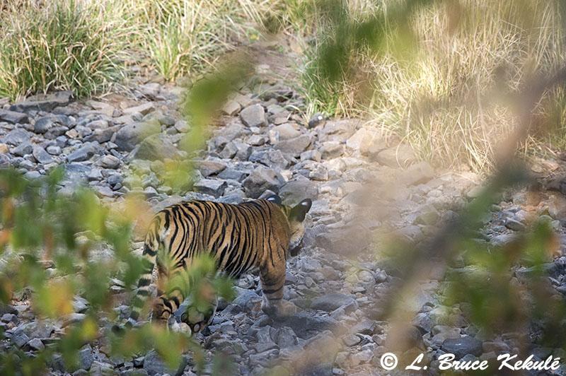 Tiger cub - Ranthambore