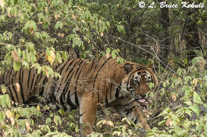 Tiger male tounge out- Ranthambore