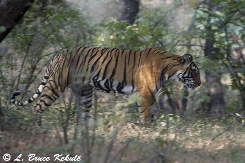 Tiger male - Ranthambore