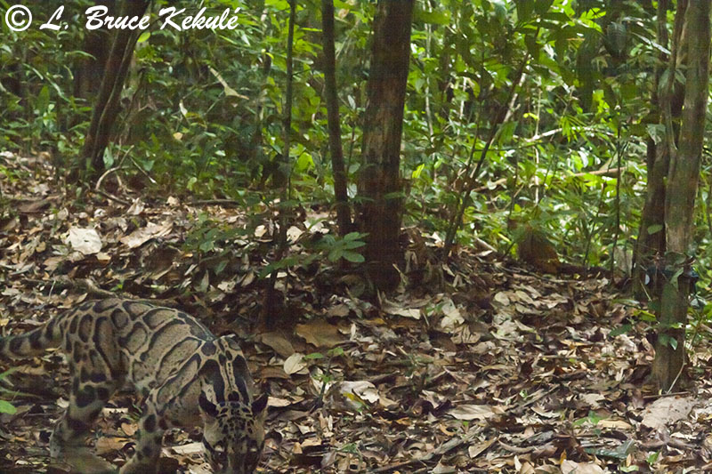 Clouded leopard in Khlong Saeng