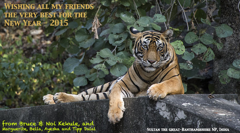 Tiger male - Sultan New Year Ranthambore