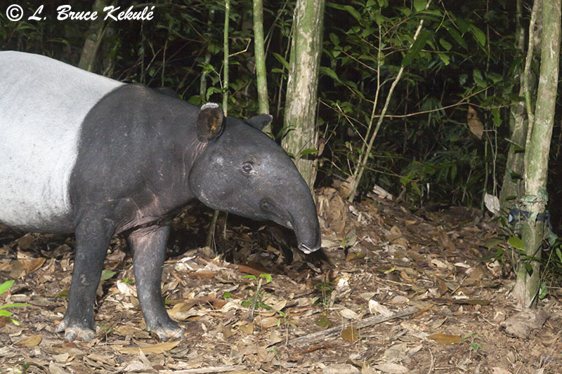 Tapir in Khlong Saeng 3