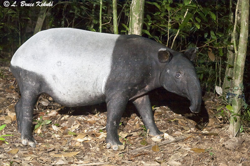 Tapir in Khlong Saeng 2