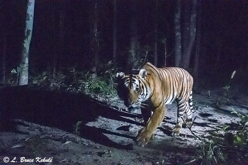 Tiger male with collar in Huai Kha Khaeng