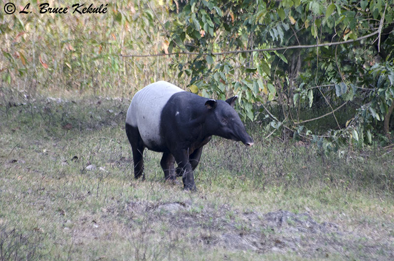 Tapir in Western Forest Complex